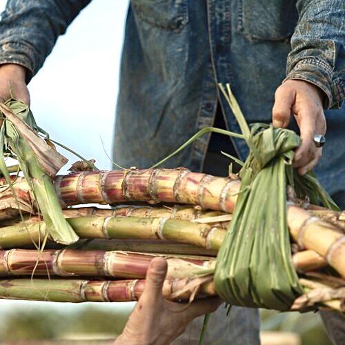 Kō Hana Farms: Hawaiian Sugarcane
